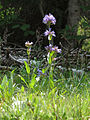 Rydberg's Beardtongue (15220812812).jpg