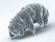 De små  Bjørnedyr  (tardigrades)