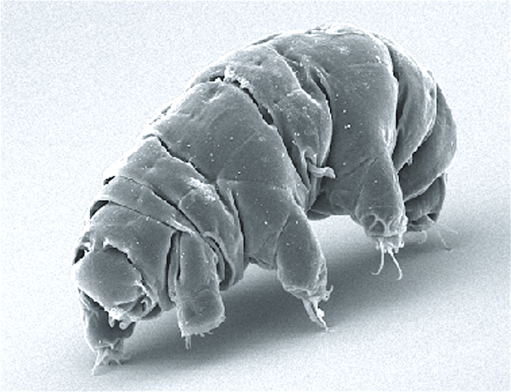 SEM image of Milnesium tardigradum in active state - journal.pone.0045682.g001-2