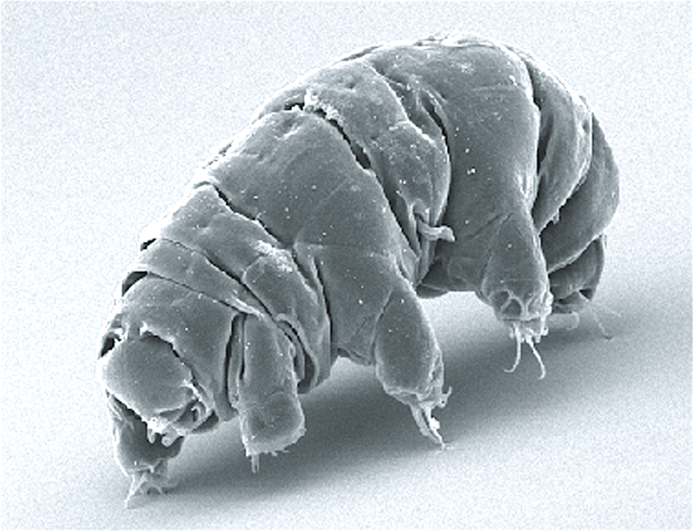 File:SEM image of Milnesium tardigradum in active state - journal.pone.0045682.g001-2.png