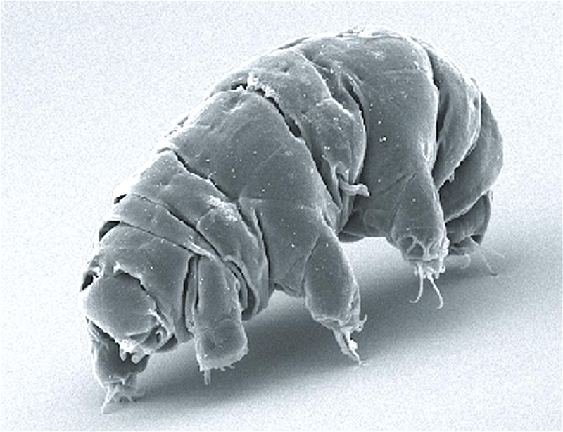 Das Bärtierchen Milnesium tardigradum