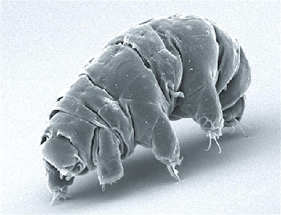 SEM image of Milnesium tardigradum in active state - journal.pone.0045682.g001-2