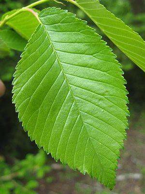 Ulmus 'Den Haag' - Image: SHHG Ulmus 'Den Haag' leaf