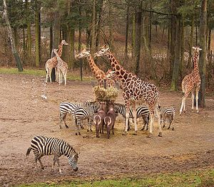 Royal Burgers' Zoo - Giraffes, plains zebras and waterbuck in Burgers' Safari