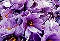 Saffron Flowers in Khorasan, Iran.jpg