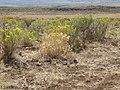 Sagebrush steppe near Hill City (9675847840).jpg