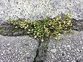 Sagina procumbens sl1.jpg