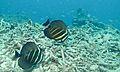 Sailfin Tangs (Zebrasoma velifer) (6133057590).jpg