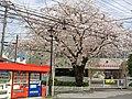 Sakura, Shin-Tokorozawa kindergarten 2011.jpg