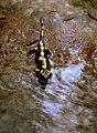 Salamandra - panoramio.jpg
