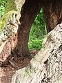 Salix hollow tree FRA-Niddapark 03.jpg