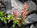 Salix lindleyana 1.jpg
