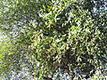 Salvadora persica-1-jodhpur-India.JPG