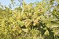 Salvadora persica by Dr. Raju Kasambe DSCN6600 (1).jpg
