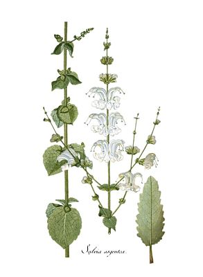 Silber-Salbei (Salvia argentea), Illustration.