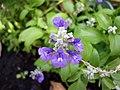 Salvia farinacea (3).JPG