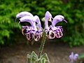 Salvia indica.jpg