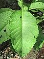 Sambong (Blumea balsamifera) leaf.jpg
