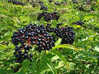 Sambucus ebulus - Dwarf elder berries