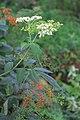 Sambucus chinensis in Wuyishan Chengcun 2012.08.24 08-32-26.jpg