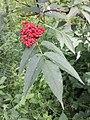 Sambucus racemosa sl1.jpg