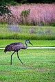 Sandhill Crane (5763301312).jpg