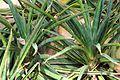 Sansevieria aethiopica pm.jpg