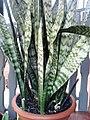 Sansevieria trifasciata – anyósnyelv.jpg