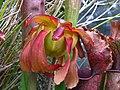 Sarracenia Judith Hindle (5964481133).jpg