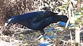 Satin Bower Bird. Female flies in. (15625642067).jpg