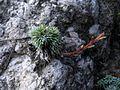 Saxifraga burseriana PID1293-4.jpg