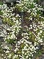 Saxifraga hypnoides - Botanischer Garten Freiburg - DSC06423.jpg