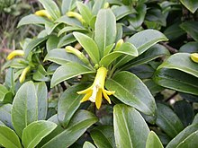 Scaevola glabra leaves and flower.jpg
