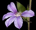 Scaevola platyphylla - Flickr - Kevin Thiele (1).jpg