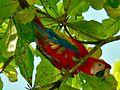 Scarlet Macaw (Ara macao) (7118961093).jpg