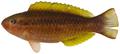 Scarus taeniopterus - pone.0010676.g129.png