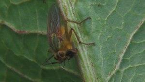 File:Scathophaga stercoraria.ogv