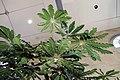 Schefflera elegantissima 9zz.jpg