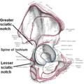 Sciatic notches.png