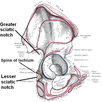 Lesser sciatic notch - Right hip bone, external surface, showing greater sciatic notch and lesser sciatic notch, separated by the spine of ischium.