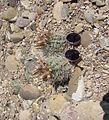 Sclerocactus wetlandicus fh 69.094 UT. Mit Samenkapseln.JPG