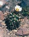 Sclerocactus wrightiae fh 69 7 UT in cultur B.jpg