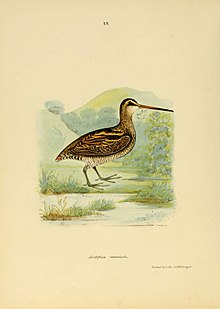 Scolopax Nemoricola Wood Snipe Birds of India.jpg