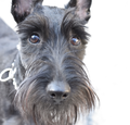 Scottish Terrier 160501.png