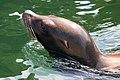 Sea Lion - Woburn Safari Park (4564202318).jpg
