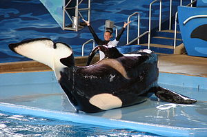 English: Tilikum during a ' performance at .