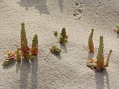 Sedum sediforme sand dune.jpg