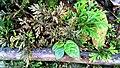 Selaginella Morphs Found in Curug Nangka, Taman Nasional Gunung Halimun Salak, West Java.jpg