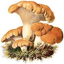 Illustrazione di H. repandum