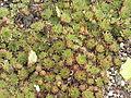 Sempervivum tectorum1.jpg